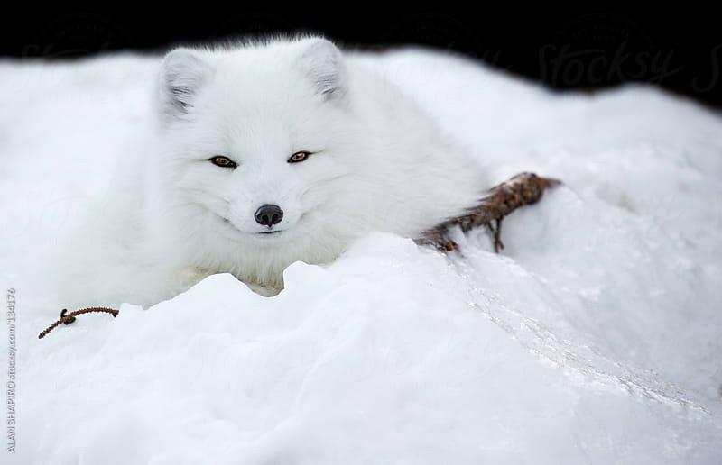 arctic fox by ALAN SHAPIRO for Stocksy United