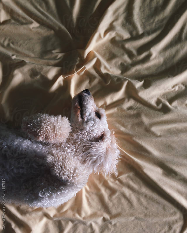 Doggy in bed by Connor Dwyer for Stocksy United