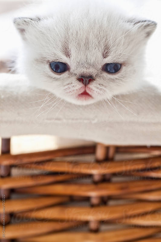 Kitten in Basket by Jill Chen for Stocksy United