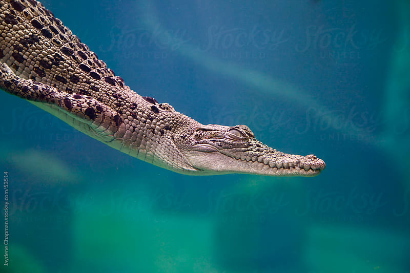 Young Australian saltwater crocodile diving underwater in a aquarium, Darwin, Northern Territory by Jaydene Chapman for Stocksy United