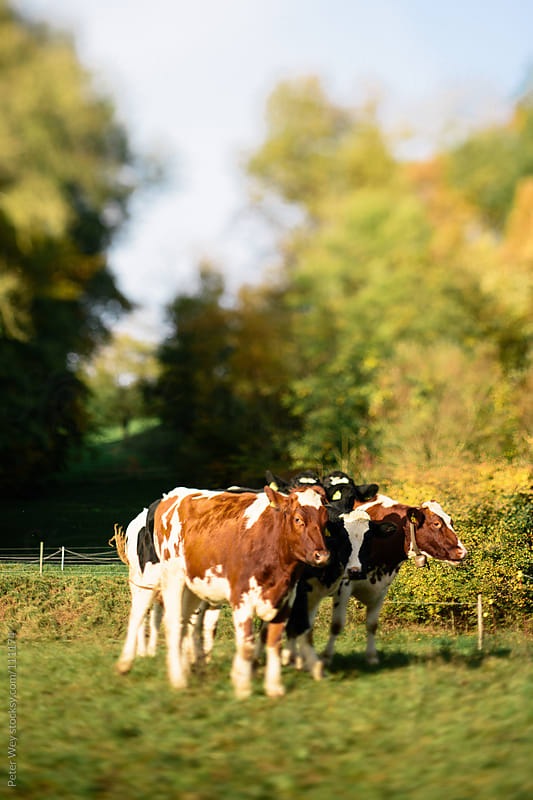Tilt shift miniature cows by Peter Wey for Stocksy United