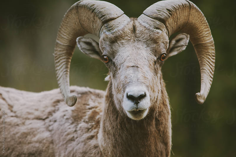 Bighorn Sheep Face by Kevin Russ for Stocksy United