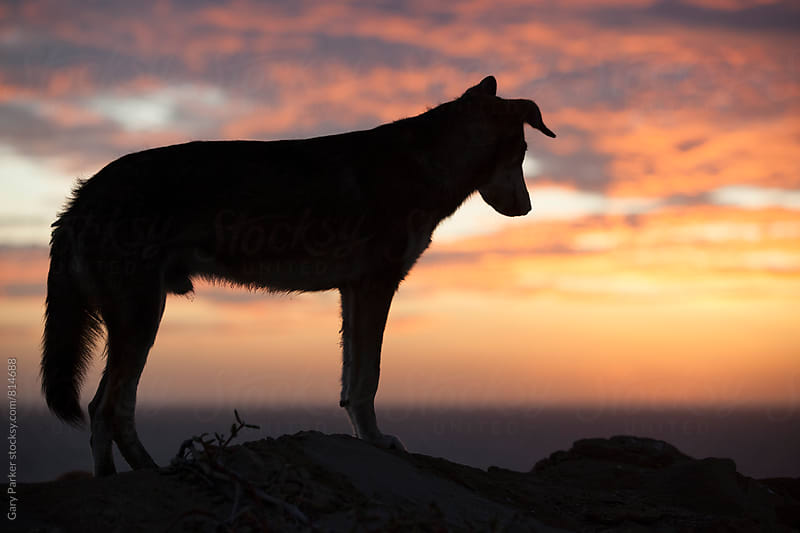Silhouette of a dog by Gary Parker for Stocksy United