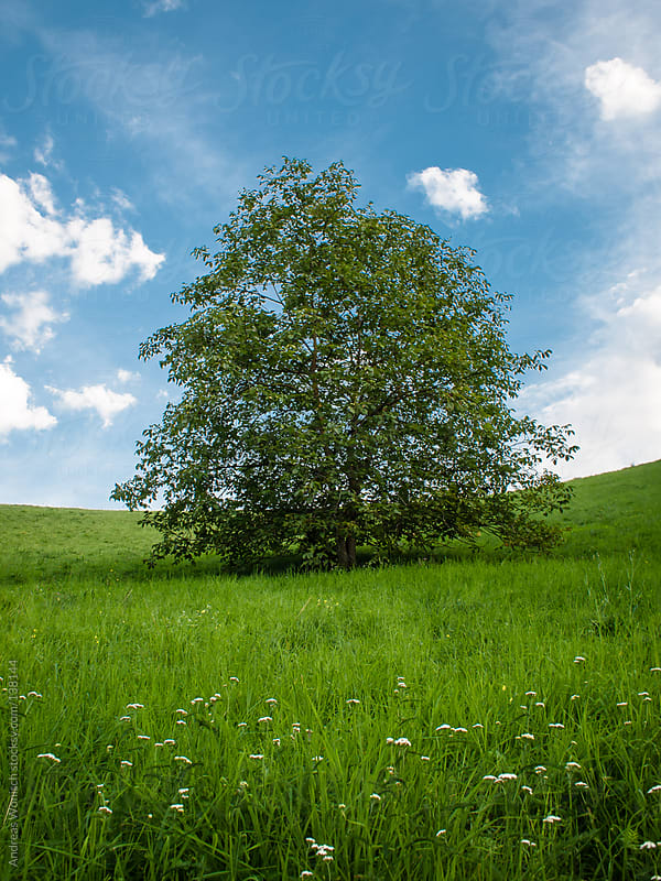Tree in Grass Field by Andreas Wonisch for Stocksy United