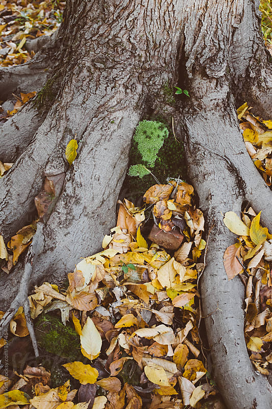 Closeup image of tree roots amongst fallen autumn leaves by Kelli Seeger Kim for Stocksy United