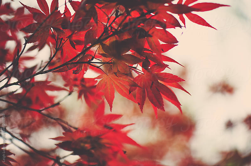 Orange/Red Japanese Maple Leaves by Leigh Love for Stocksy United