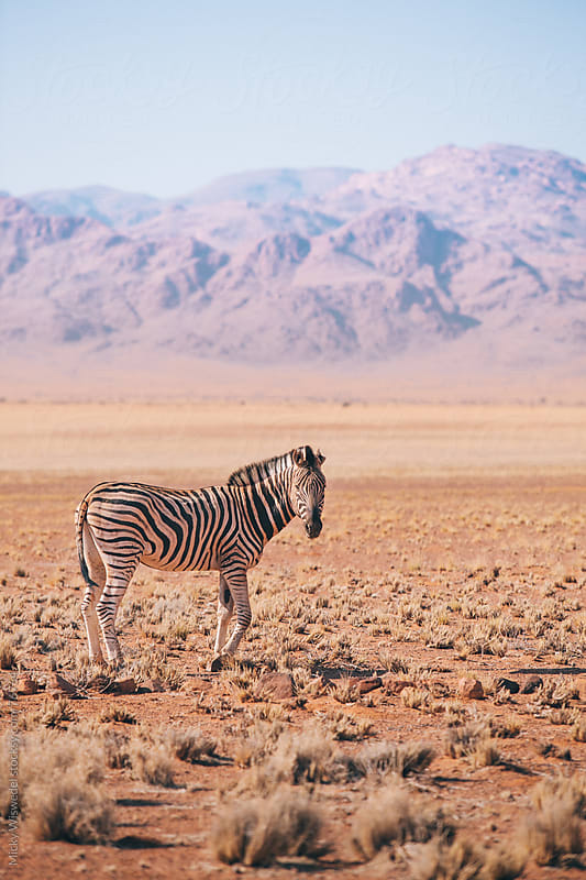 Zebra in the plains of Namibia by Micky Wiswedel for Stocksy United