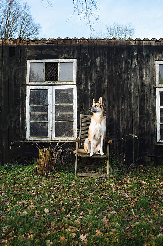 Beautiful shepherd dog sitting around. by Ivar Teunissen for Stocksy United
