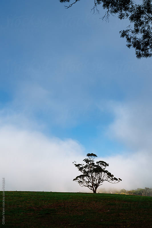large gum tree in a field with morning mist by Gillian Vann for Stocksy United