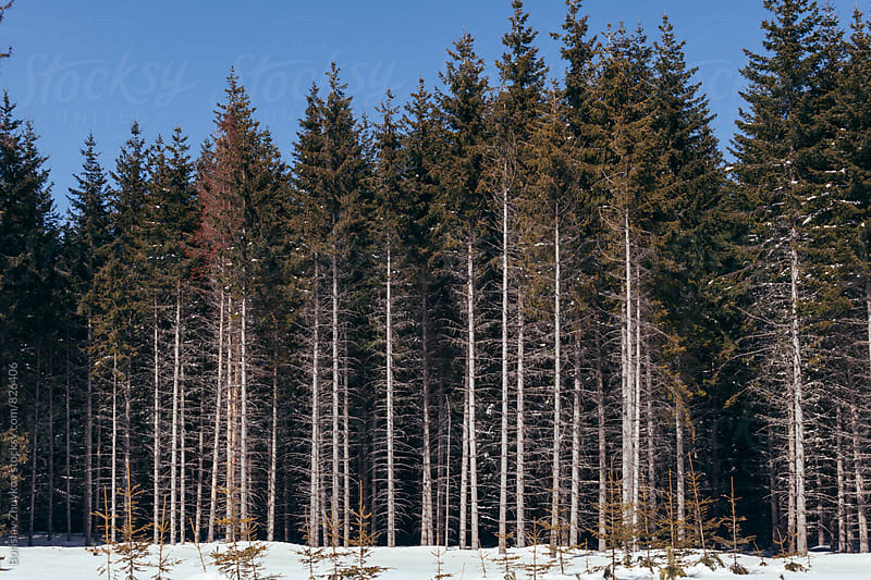 Pine forest during winter by Borislav Zhuykov for Stocksy United
