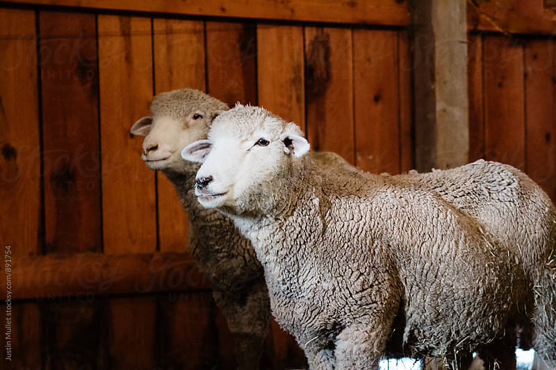 Pair of sheep standing inside a barn by Justin Mullet for Stocksy United
