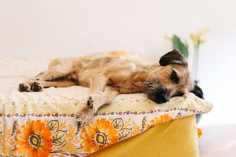 Sleepy dog on the bed  by Marija Kovac for Stocksy United