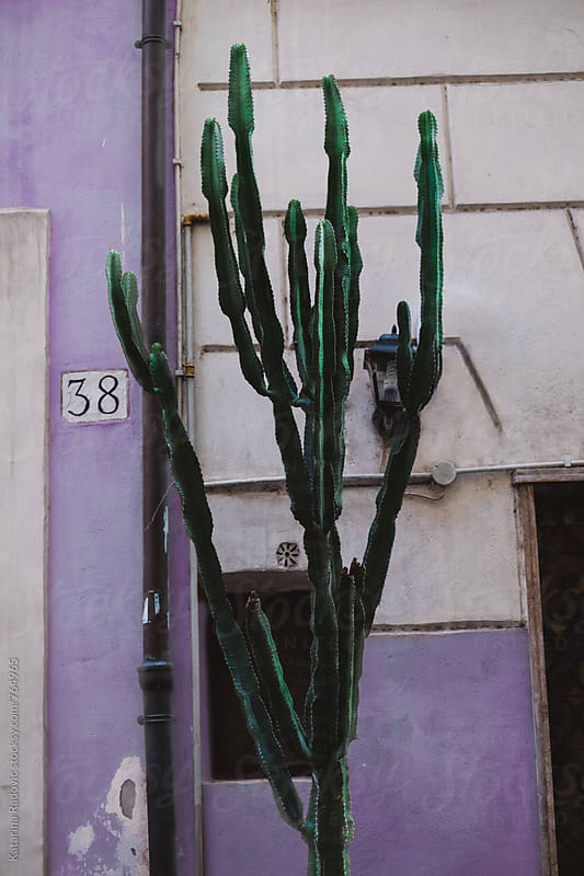 Cactus in Front of The Purple Pastel Wall by Katarina Radovic for Stocksy United