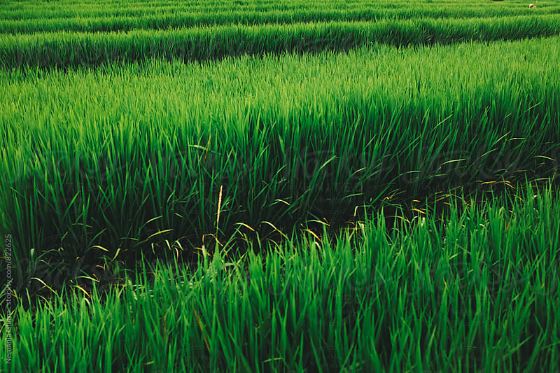 Green Rice Field in Bali, Indonesia by Nemanja Glumac for Stocksy United