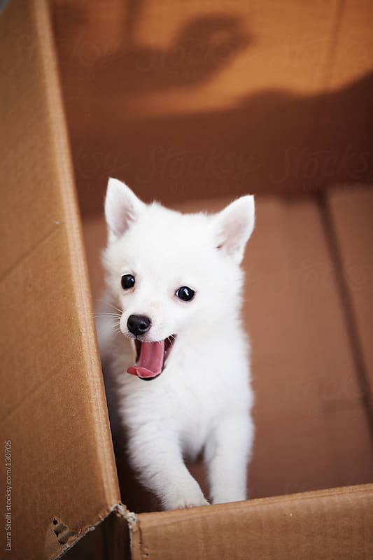 White spitz puppy yawning and looking straight at the camera by Laura Stolfi for Stocksy United