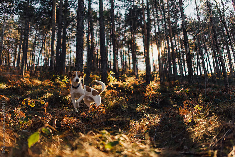 A dog standing in the forest by Boris Jovanovic for Stocksy United