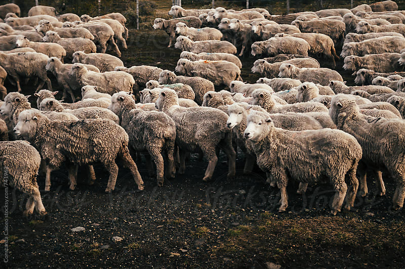 A herd of sheep in the Chilean Patagonia by Constanza Caiceo for Stocksy United