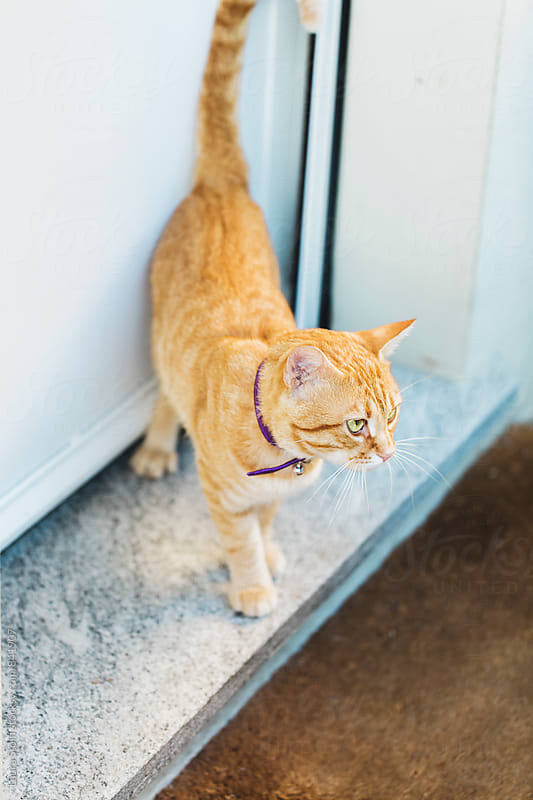 Cat stands in front of closed door wearing purple collar by Laura Stolfi for Stocksy United