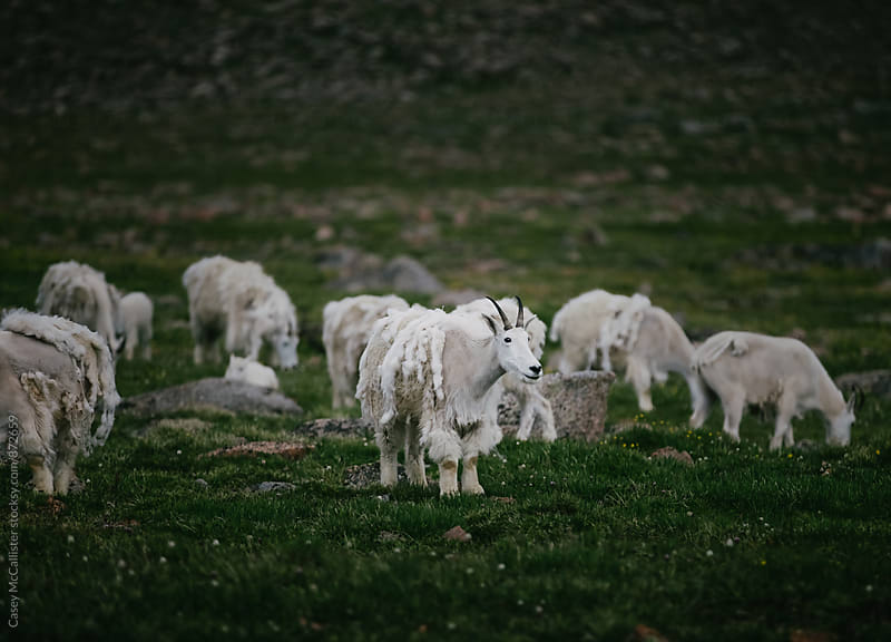 Flock of Sheep by Casey McCallister for Stocksy United