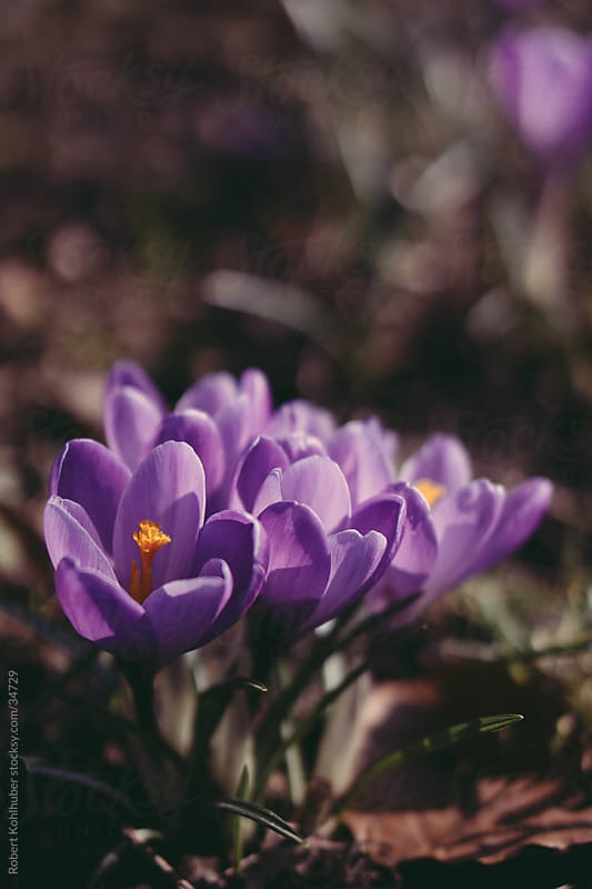 Flowers growing in winter- spring crocus by Robert Kohlhuber for Stocksy United