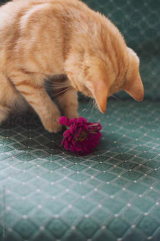 Playful kitten by Jovana Rikalo for Stocksy United