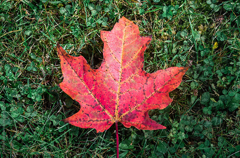 bright red maple leaf on dark green grass by Deirdre Malfatto for Stocksy United