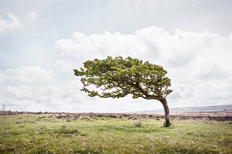 Wind blown tree by James Ross for Stocksy United