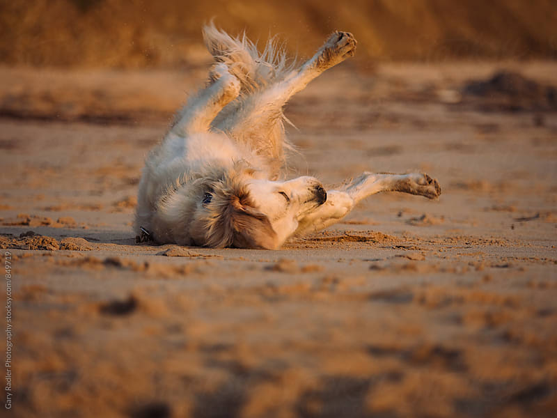 Golden Retriever rolling in the Sand on a Beach by Gary Radler Photography for Stocksy United