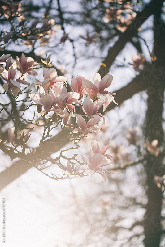 Magnolia tree on a Sunny Day by Ani Dimi for Stocksy United