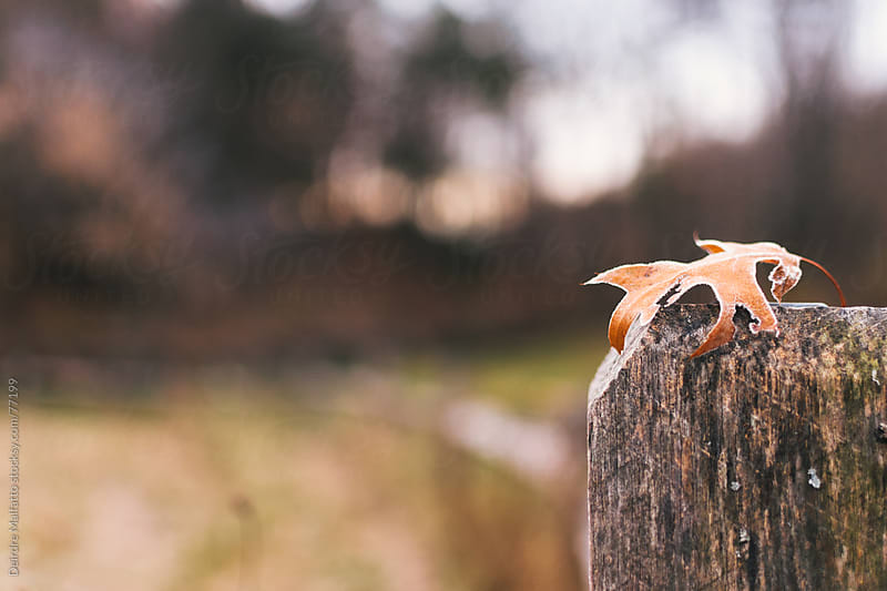 Frosty oak leaf on a fence post at sunrise by Deirdre Malfatto for Stocksy United