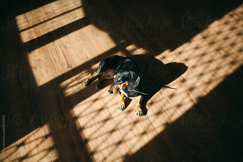 Small black dog lying on the floor indoor by VeaVea for Stocksy United