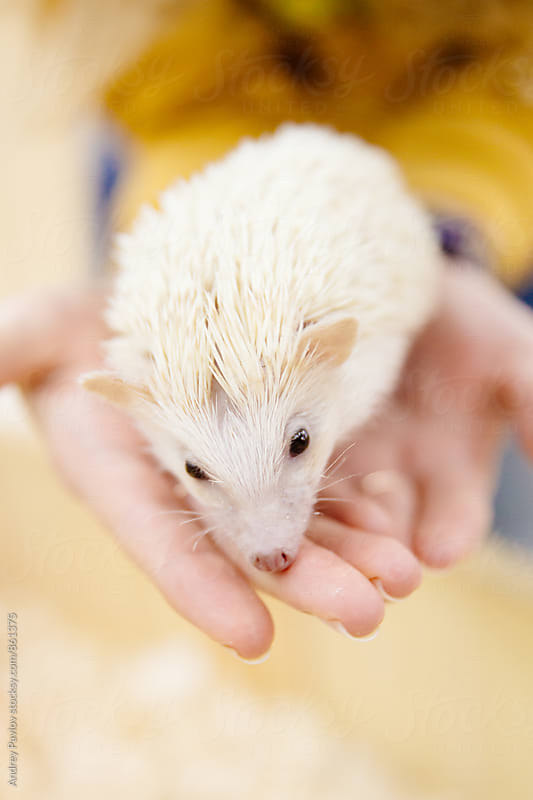 Close-up of lovely little white hedgehog by Andrey Pavlov for Stocksy United