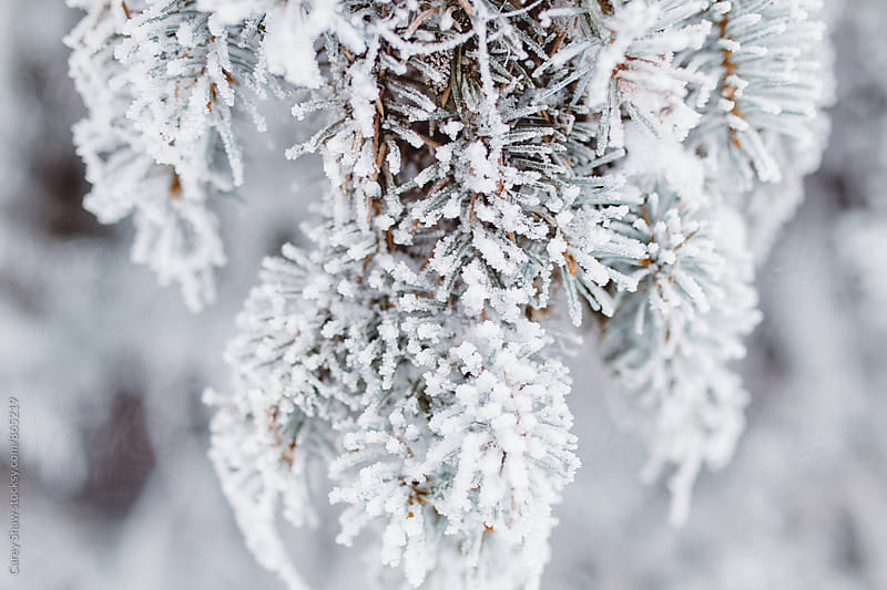 Frost covered Christmas tree in winter by Carey Shaw for Stocksy United