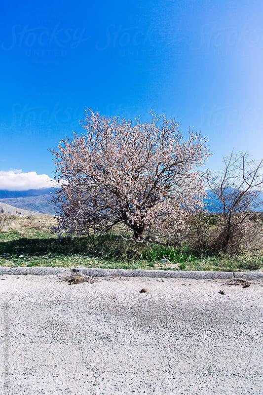 cherry tree by Tommaso Tuzj for Stocksy United