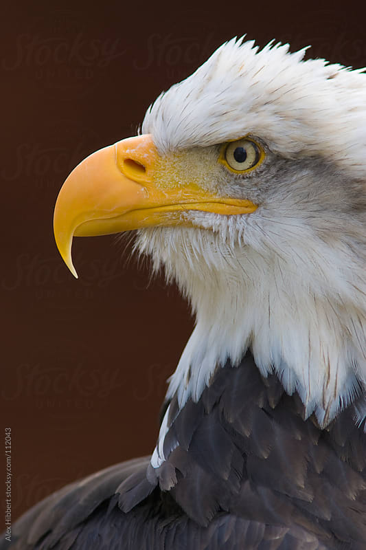 Bald Eagle by Alex Hibbert for Stocksy United