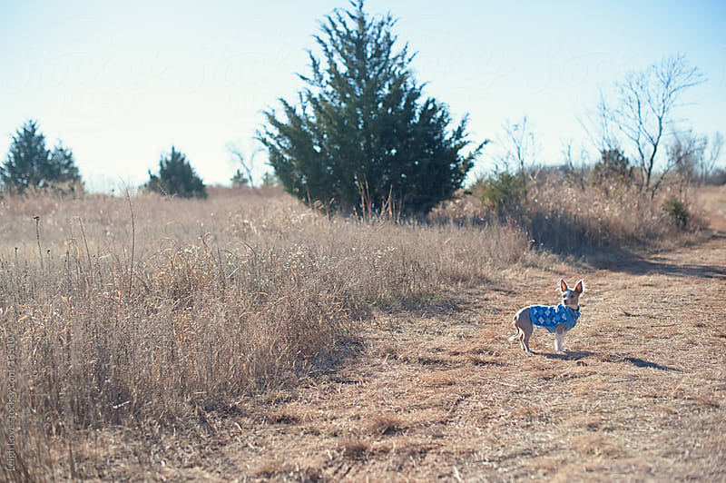 Chihuahua in Blue Sweater Goes For A Nature Walk by Leigh Love for Stocksy United