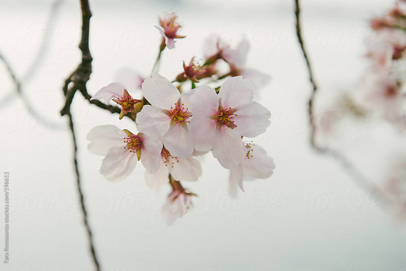 cherry blossoms over the tidal basin in Washington D.C. by Tara Romasanta for Stocksy United