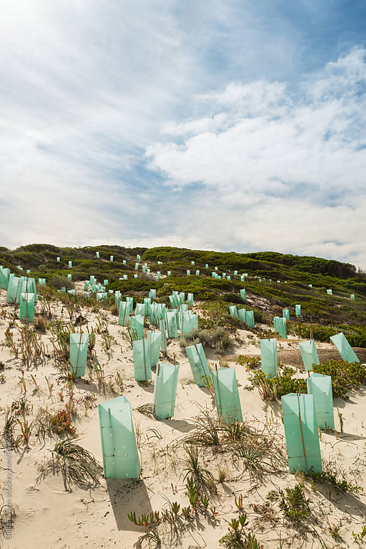 regenerating sand dunes with new plants by Gillian Vann for Stocksy United