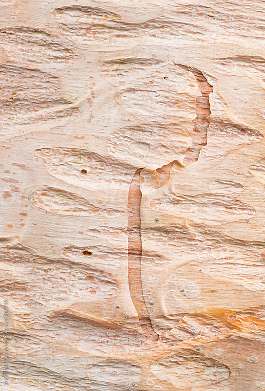 Red birch tree bark, closeup by Mark Windom for Stocksy United