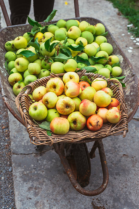 apple harvest by Gillian Vann for Stocksy United