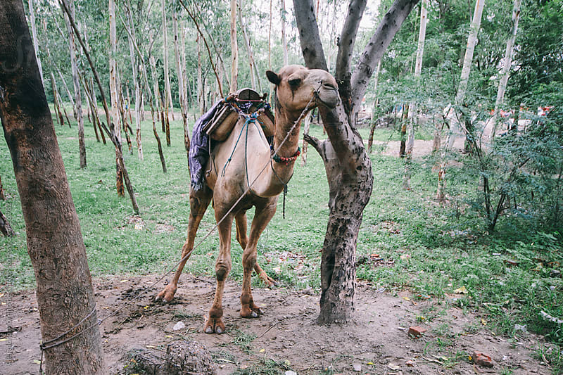 Camel tied to a tree in India by Alejandro Moreno de Carlos for Stocksy United