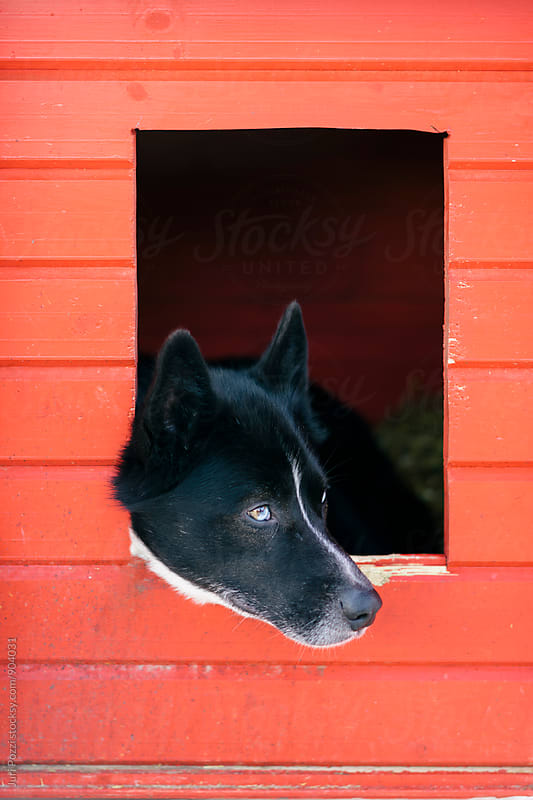 Husky dog relaxing after pulling a sled by Juri Pozzi for Stocksy United