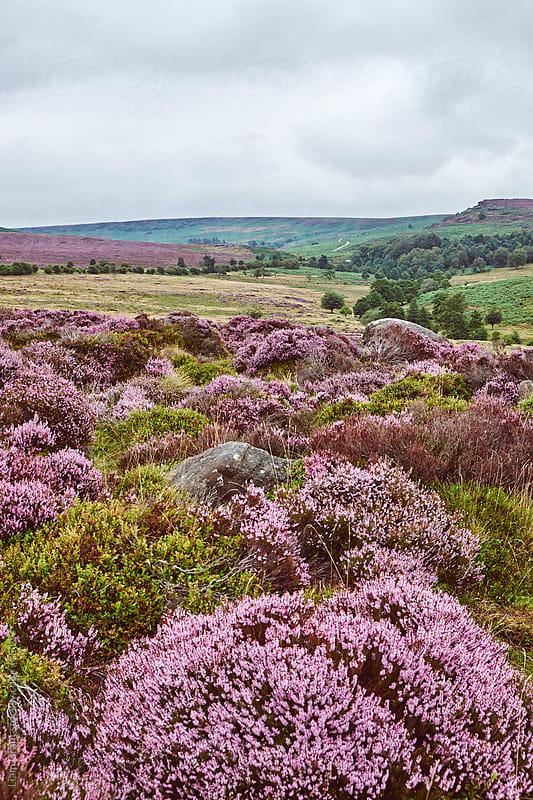 Heather on a remote hillside. Derbyshire, UK. by Liam Grant for Stocksy United