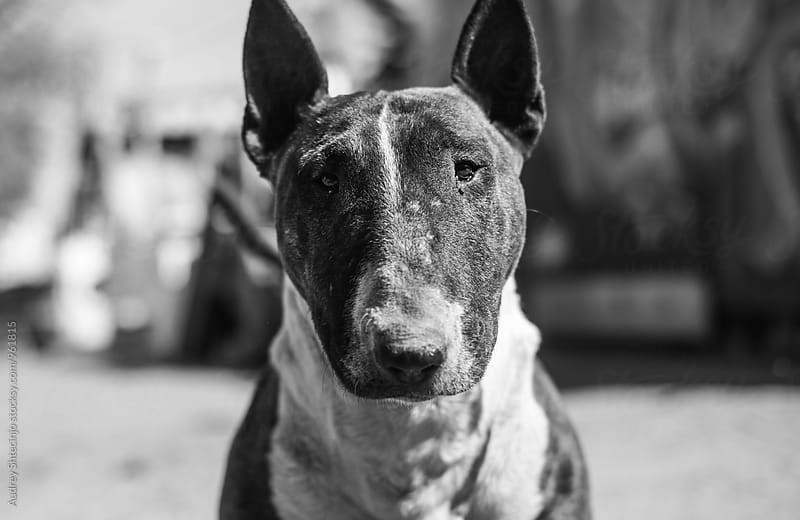 Bull terrier/portrait by Marko Milanovic for Stocksy United