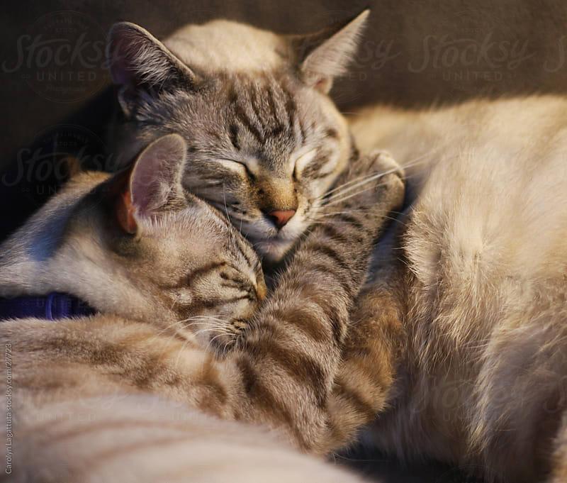 Two sibling Siamese cats cuddling with each other. by Carolyn Lagattuta for Stocksy United