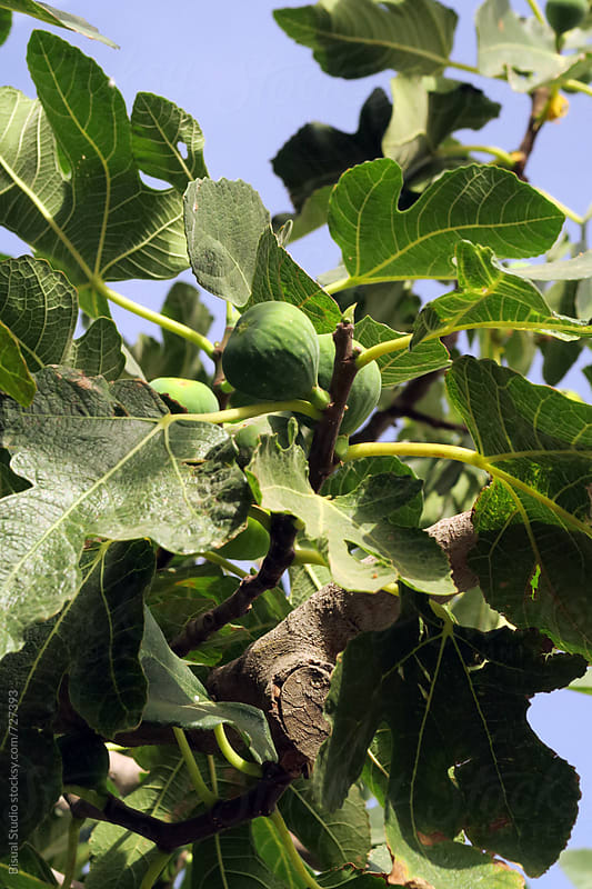 Figs growing by Bisual Studio for Stocksy United
