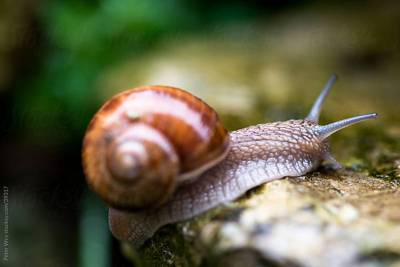 Macro of Burgundy snail (lat. Helix pomatia) crawling by Peter Wey for Stocksy United