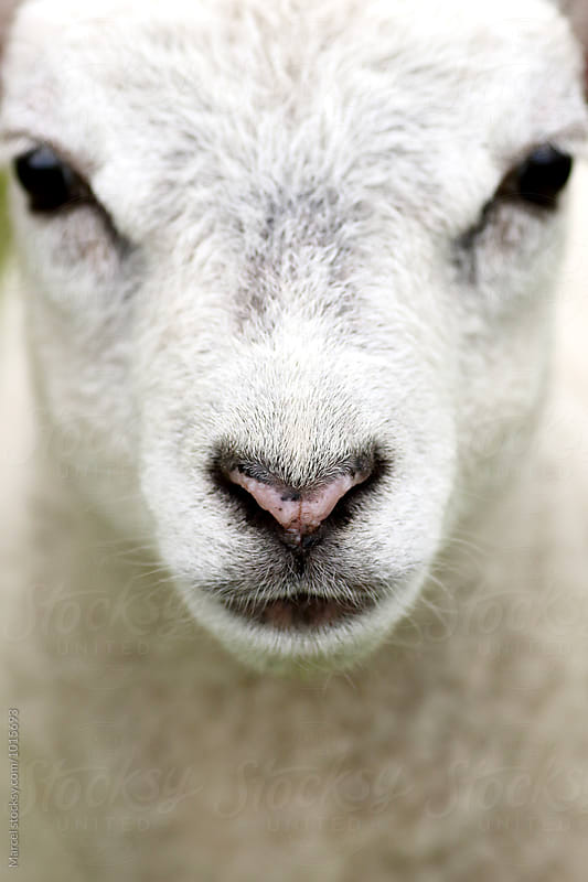 Lamb portrait by Marcel for Stocksy United