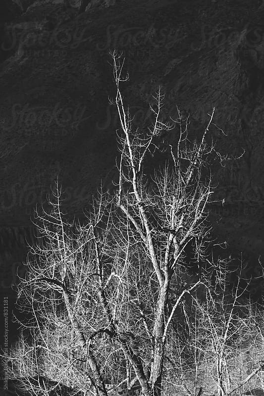 Black and white image of a sunlit tree against a dark background. by Shikhar Bhattarai for Stocksy United