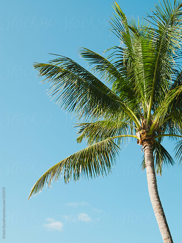 Palm tree. Florida, USA. by Kristin Duvall for Stocksy United